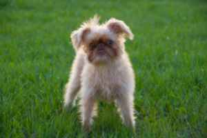 Brussels Griffon Dog