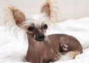 Chinese Crested Picture