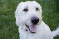 Labadoodle Dog Picture