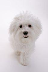 Maltese Dog Picture