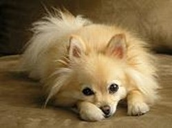 Pomeranians Toy Dogs Pomeranians Puppies And Dogs