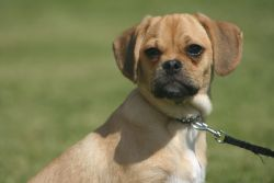 Puggles Picture