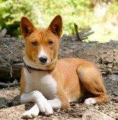 Basenji Dog Picture