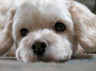 Cockapoo Dog Picture