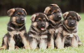 German Shepherd Picture