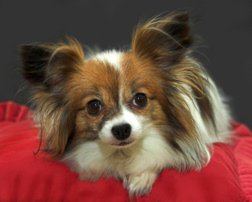 Papillon Dog Picture