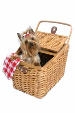 Yorkie Dog Picture