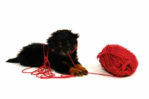 Yorkipoo Dog Picture